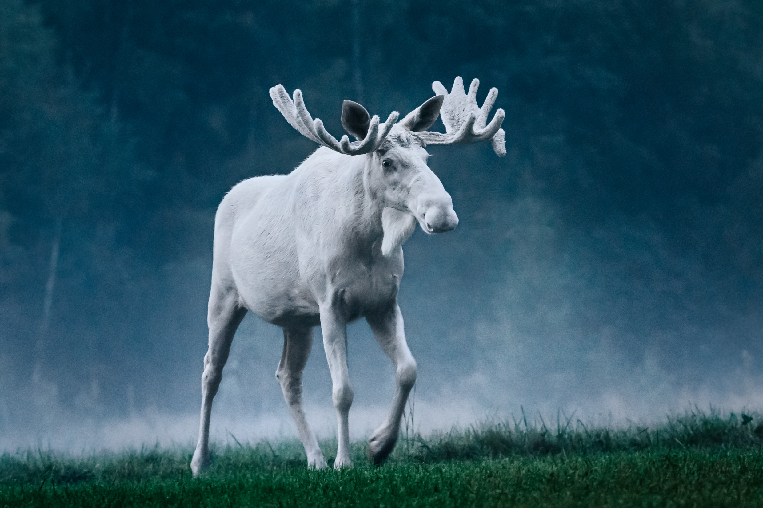 anders_tedeholm-white_moose-5440